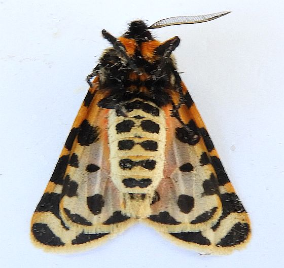 Arizona Moth - Apantesis incorrupta