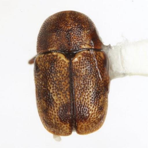 Pachybrachis hepaticus (F. E. Melsheimer) - Pachybrachis hepaticus