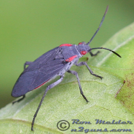 Red-shouldered Bug - Jadera haematoloma