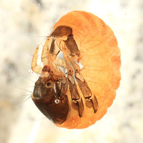 Caddisfly larva - Glossosoma