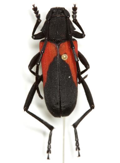 Purpuricenus linsleyi  Chemsak - Purpuricenus linsleyi - female