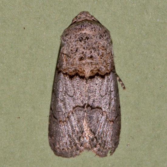moth caterpillar - Sympistis sorapis