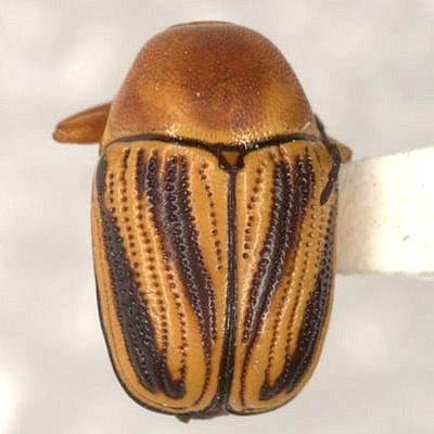 Cryptocephalus o. obsoletus Germar  - Cryptocephalus obsoletus