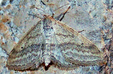 Lobocleta plemyraria (Straight-line Wave) - Lobocleta plemyraria