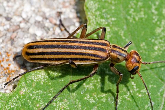 farmapest şellak böceği ile ilgili görsel sonucu