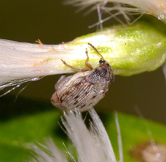 Beetle ID - Bruchidius terrenus