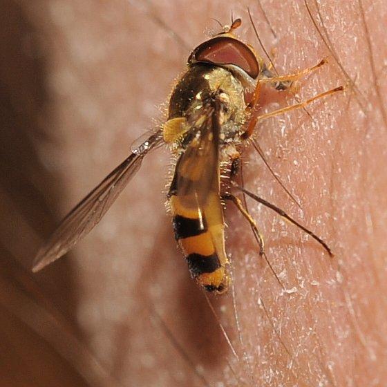Sweat fly