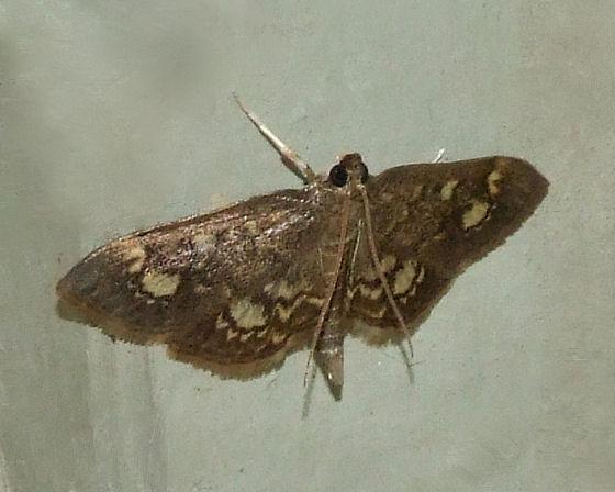 Crowned Phlyctaenia - Anania plectilis