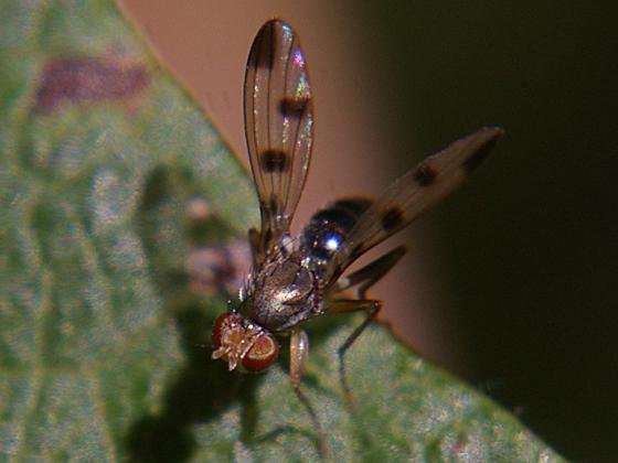 Opomyzid Fly - Geomyza tripunctata - female