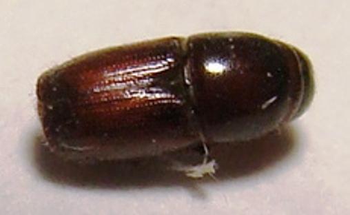 Typical Bark Beetle - Scolytus