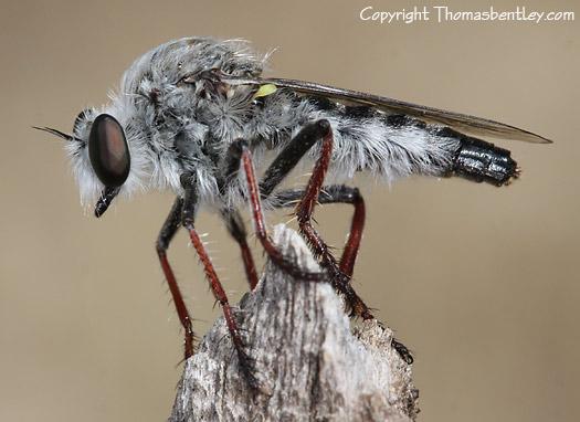Robberfly - Heteropogon davisi - female
