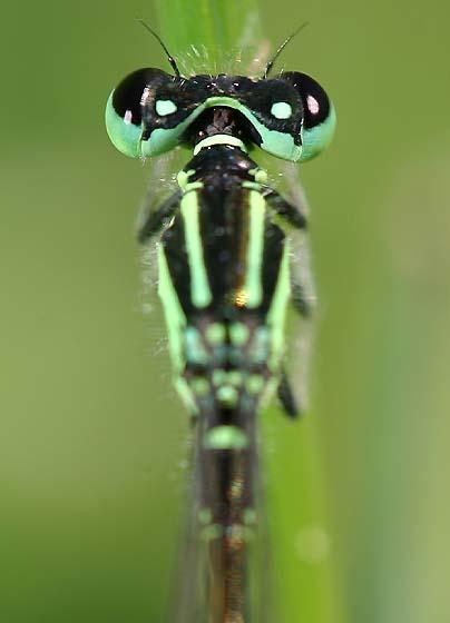 Portrait of a Damselfly - Ischnura verticalis - male