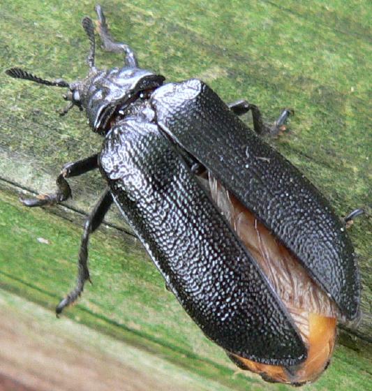 Cedar Beetle - Sandalus niger - female