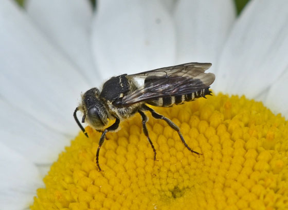 Bee 7867 & 7872 & 7875 - Coelioxys - male