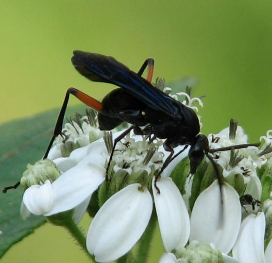 wasp - Ceropales bipunctata