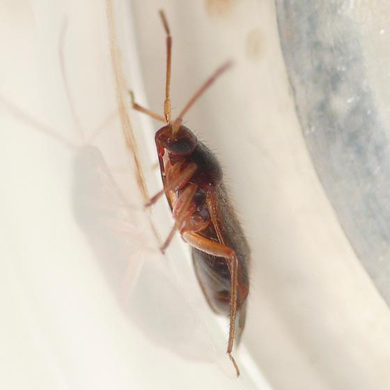 Ceratocapsus 09.07.28 - Ceratocapsus