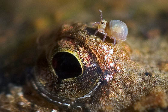 bug on frog's eye - Sminthurides aquaticus