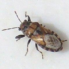 weird little bug - Phlegyas abbreviatus