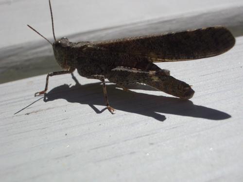 Grasshopper - Trimerotropis verruculata - male