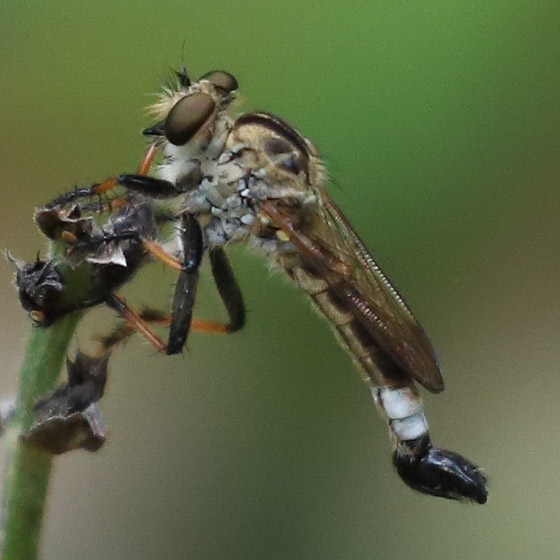 Effarias  - Efferia apicalis - male