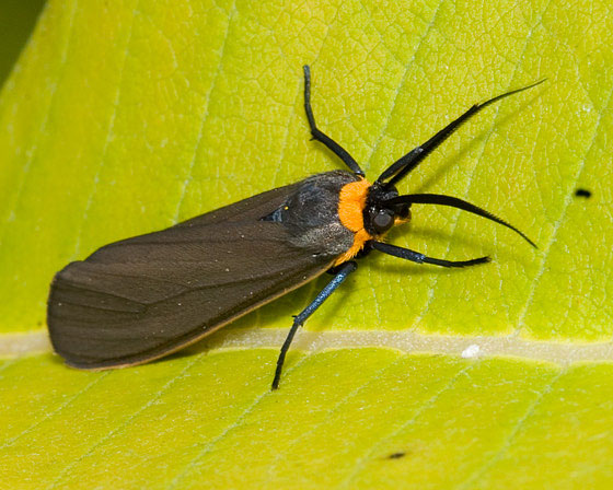 yellow-collared scape moth - Cisseps fulvicollis