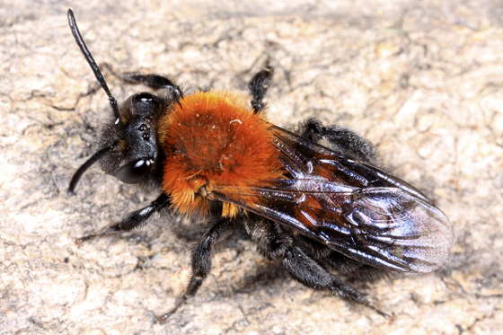 Bee - Andrena milwaukeensis - female