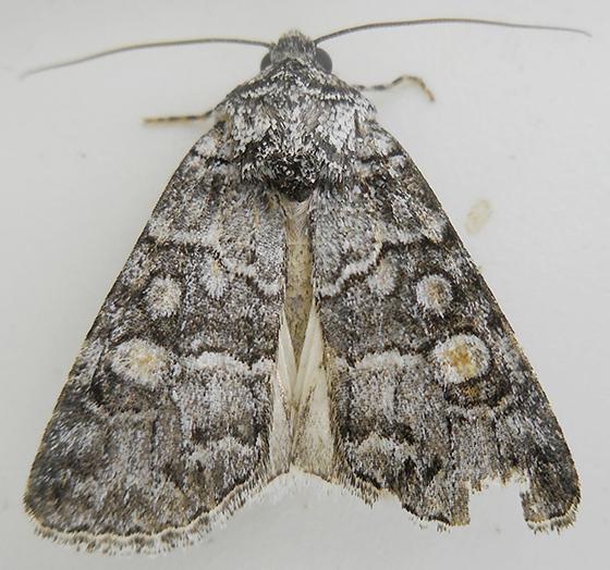 Moth - Sympistis dunbari