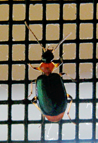 Orange and green beetle - Lebia viridipennis