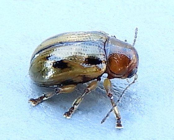 Pennsylvania Beetle for ID - Paria