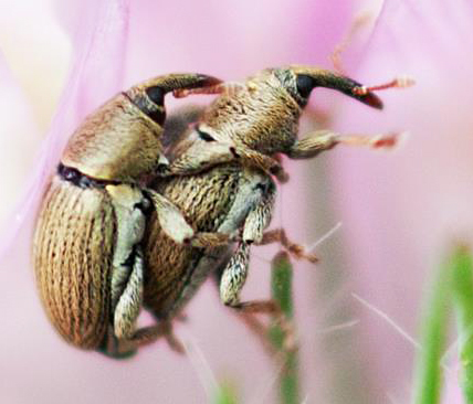 Weevils mating - Tychius stephensi - male - female
