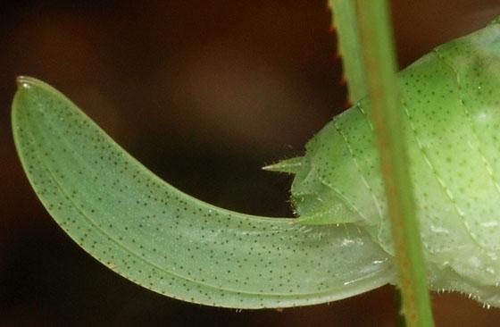 ovipositor, roundheaded katydid nymph - Amblycorypha oblongifolia - female