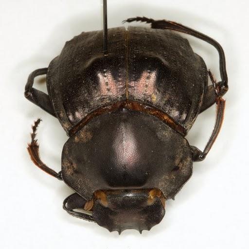 Deltochilum gibbosum (Fabricius) - Deltochilum gibbosum