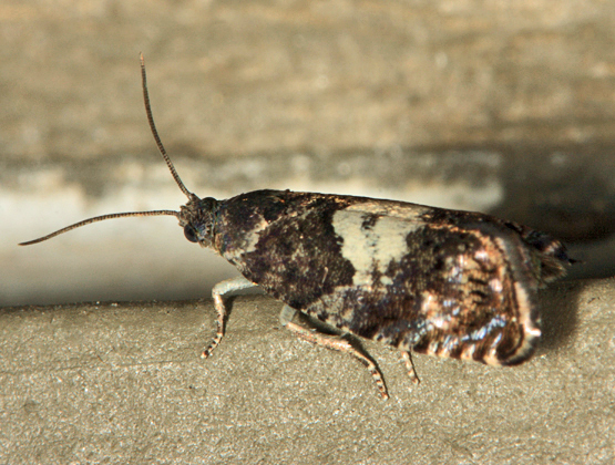 Blueberry Tip Borer Moth - Hendecaneura shawiana
