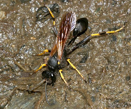 Black and Yellow Mud Dauber - Sceliphron caementarium - female