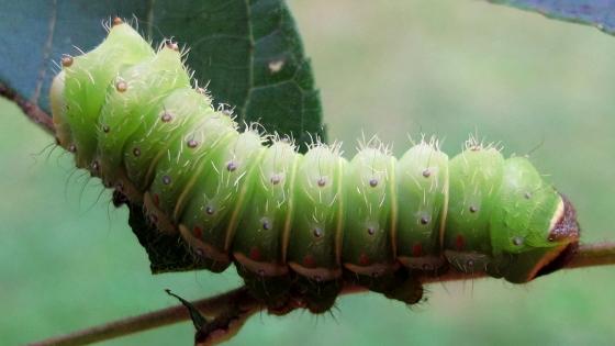 caterpillar - August 30 - Actias luna