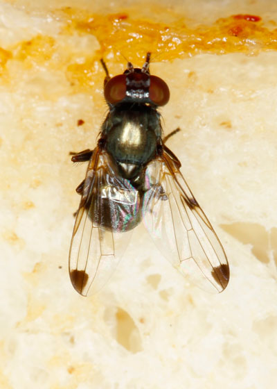 unknown Fly - Euxesta notata - male