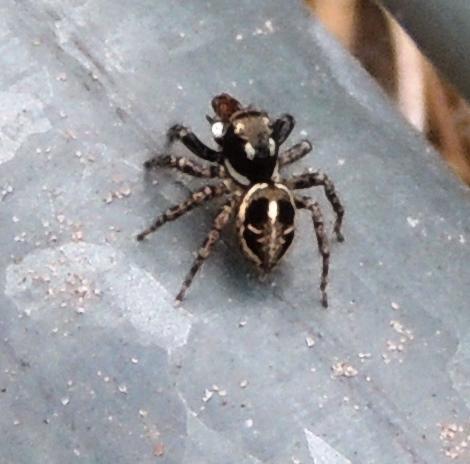spider with human skeleton on hind end - anasaitis canosa, Skeleton