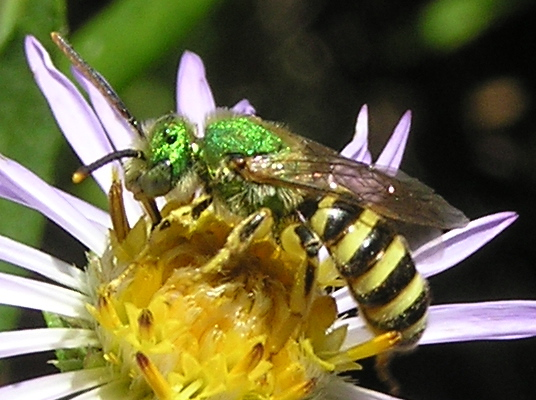 A green wasp like. - Agapostemon - male