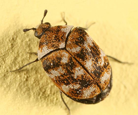 Carpet Beetle - Anthrenus verbasci
