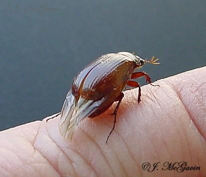 Brown Beetle 3 - Serica