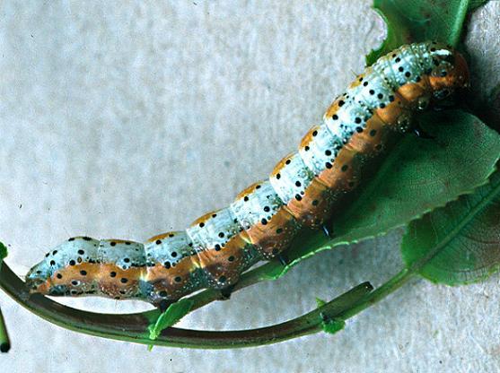 Purple-Lined Sallow larva - Pyrrhia exprimens