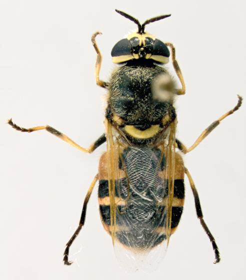 Stratiomyidae, dorsal - Anoplodonta nigrirostris