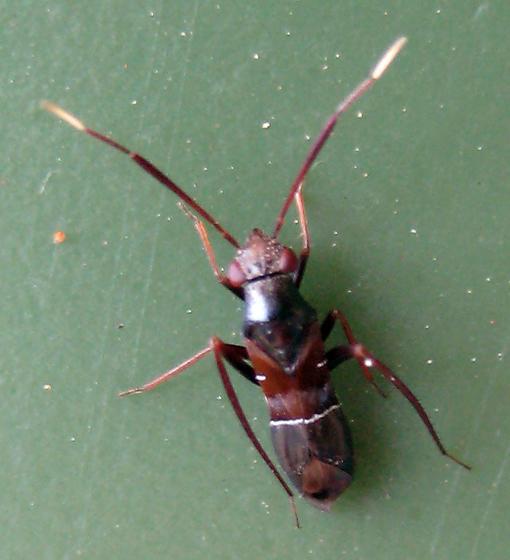 Pilophorus - Pilophorus crassipes
