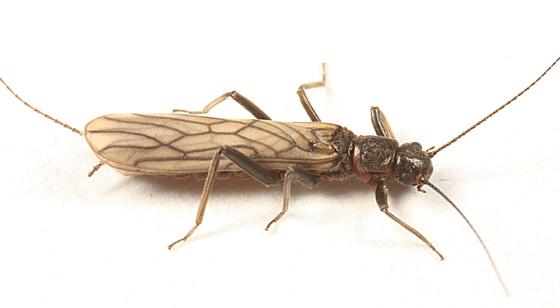 Small Winter Stonefly - Allocapnia pygmaea - female