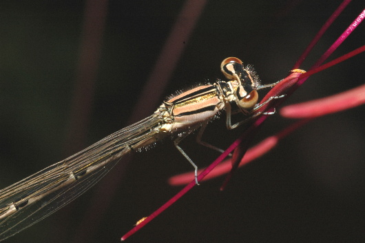 Damselfly - Enallagma doubledayi - female