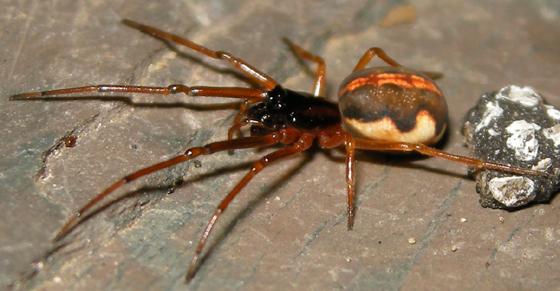 Pachygnatha autumnalis - female