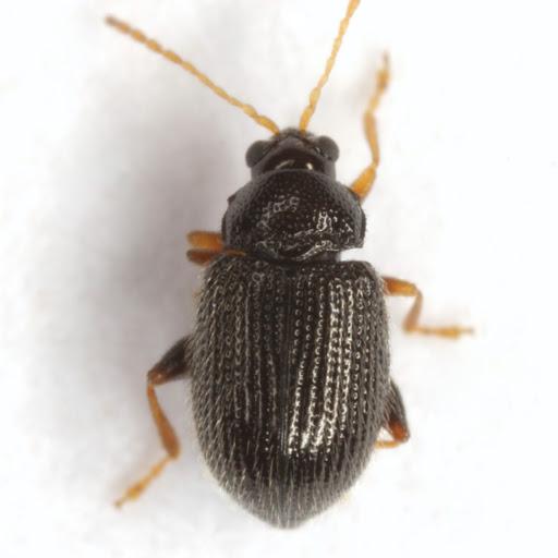 Epitrix tuberis Gentner - Epitrix tuberis