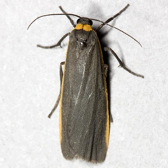 Bicolored Moth - Hodges#8043 - Manulea bicolor