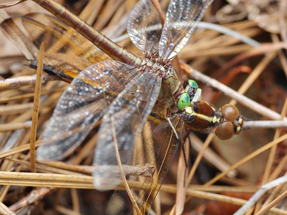 Gray-green Clubtail w/ Prey - Arigomphus pallidus
