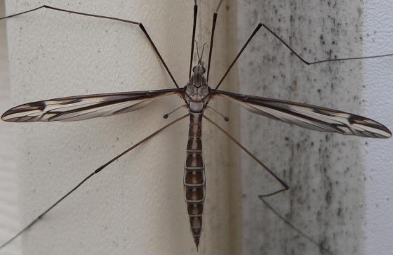Tipula furca - female
